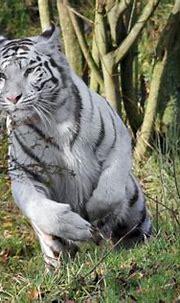 Tigre albino | Tiger pictures, Animals beautiful, Cat species