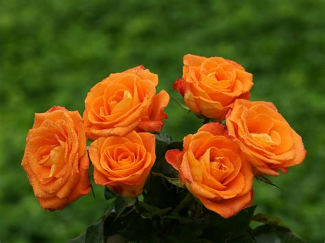 for roses orange roses wallpaper