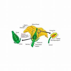 Male And Female Reproductive Parts Of A Flower  How Plants