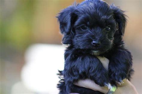 Maltipoo Puppy Animals Pinterest Puppys Maltipoo Puppies And I Will