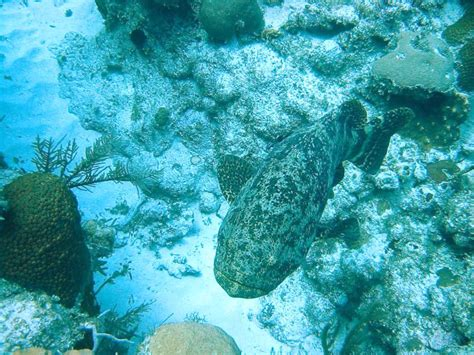 goliath grouper cayman itajara epinephelus caribbean location