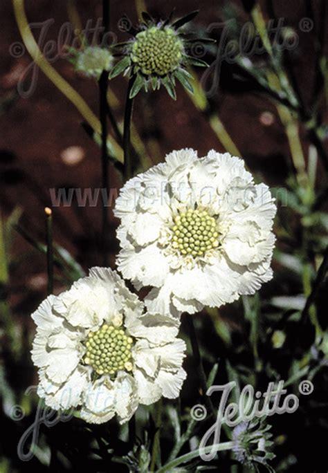 Jelitto Perennial Seed Scabiosa Caucasica Perfecta Alba