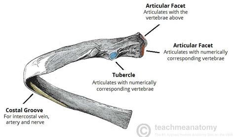 the ribs structure articulations fracture