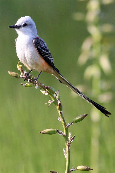 dallas trinity trails scissor tailed flycatchers and