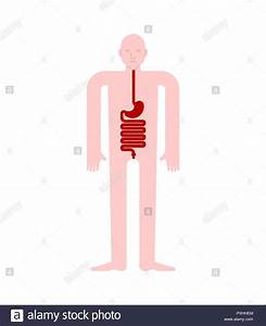 Stomach And Esophagus And Rectum Human Anatomy