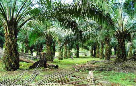 jenis jenis tanah lahan  cocok  kelapa sawit