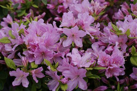Pilz Im Garten Staubt by Pflanzzeit F 227 R Rhododendron 2279 Gt Rhododendron 220