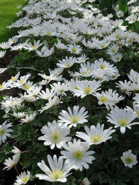 anemone blanda white splendour for sale buy for 163