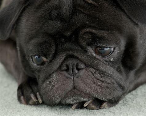 Depressed Pug Meme - depressed pug quotes
