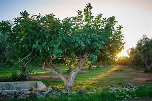 Feigenbaum Im Garten : feigenbaum im garten experten tipps vom kauf bis zur pflege plantura ~ Orissabook.com Haus und Dekorationen