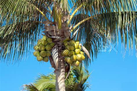 foto palme shop kokosn 248 dder p 229 palme tr 230 stock foto colourbox