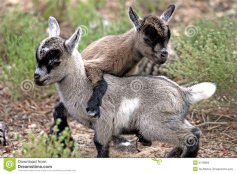 goats playing stock image image  jumping goats