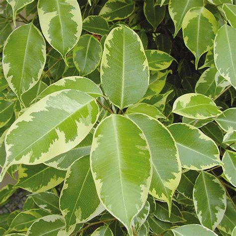 Piante Tropicali Da Interno - la salute delle piante tropicali da interno cifo