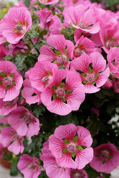 cape mallow 17 best images about my mallows malva sylvestris on pinterest medicinal plants geranium