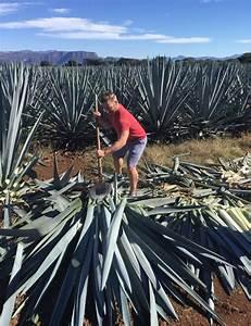 Tequila Jalisco Mexico Proceso de fabricación Elaboración del tequila