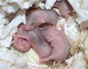 Tag Der Geburt Berechnen : zwerghamster info entwicklung von zwerghamster babys ~ Themetempest.com Abrechnung