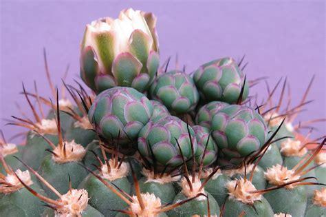 Gymnocalycium comarapense   Succulents, Plants, Artichoke