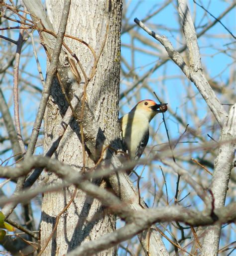 attracting woodpeckers to your backyard wild birds unlimited