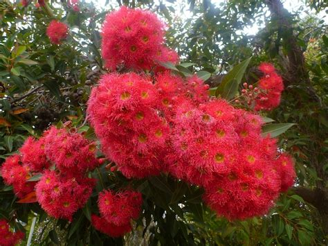 top  trees red flowering gum corymbia ficafolia