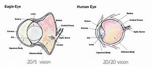 Another Important Part Of The Eagle Eye  Is The Retina  The Retina Is Where The Image Is Created