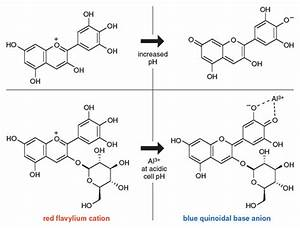 Curious Chemistry Guides Hydrangea Colors