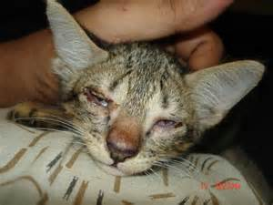 cat cold symptoms images of cat eye infections