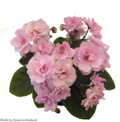Old fashioned Rose African Violet Society of America
