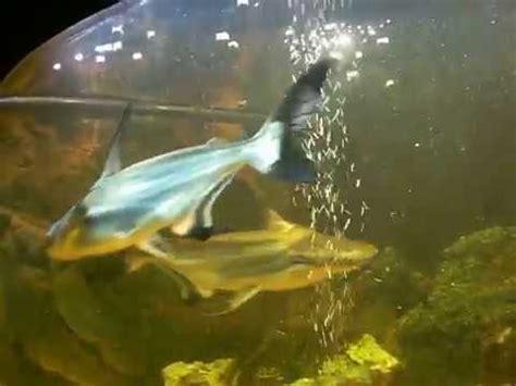requin aquarium eau douce requin d eau douce