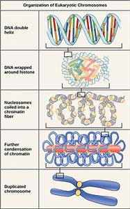 Diagram Of Genetic Organization