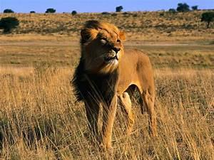 Wild Cats  The Lion  U2013 Kimcampion Com