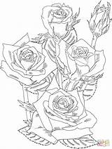 Coloring Bush Roses Rose Pages Printable Drawing Adult Drawings Prominent Grandiflora Shrub Detailed Flower Adults Plant Sketch Flowers 1040 63kb sketch template