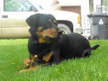 labrottie labrador retriever rottweiler mix info