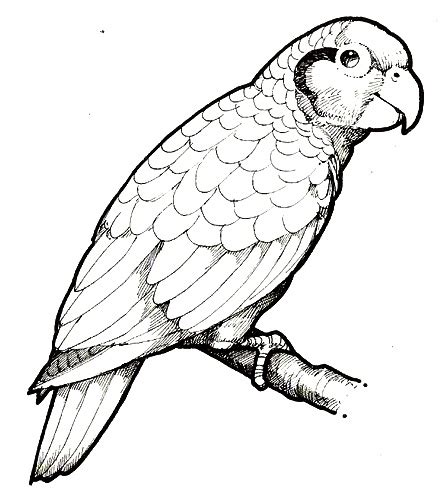 parrot coloring
