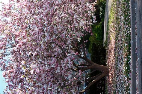 trees that pink flowers names of flowering trees images