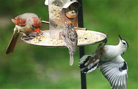 keeping  wildbirds healthy  backyard naturalist