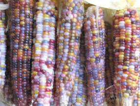 colored corn glass gem corn the multi colored corn variety you should