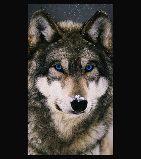 1080p Wolf Wallpaper Iphone X by Winter Wolf Hd Wallpaper For Your Iphone 6
