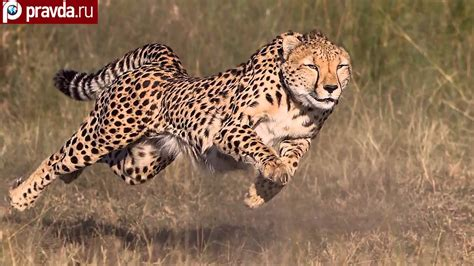 Cheetahs Can Be Faster Than Ferrari Youtube