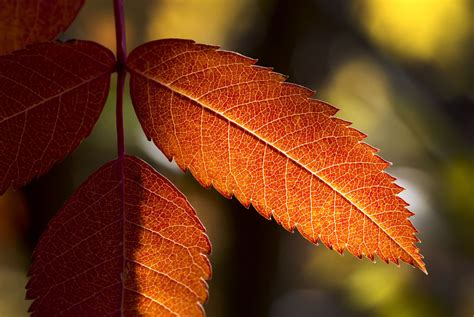 fall foliage trees american mountain ash  white ash