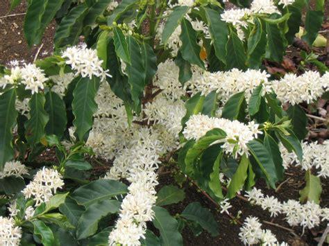 coffee plant tpf maintenance
