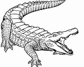 hd wallpapers baby alligator coloring pages