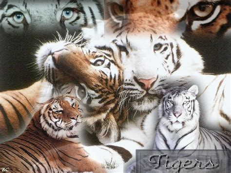Big Cats Wallpapers  Wallpaper Cave