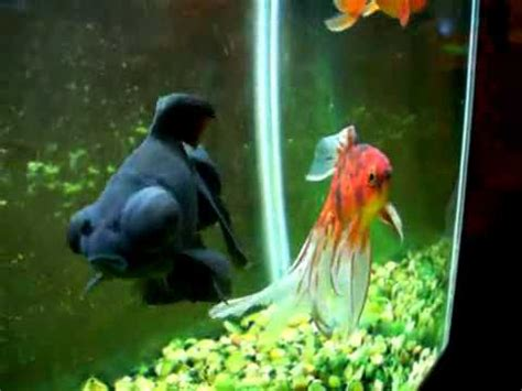 goldfish types ranchu fantail moor youtube
