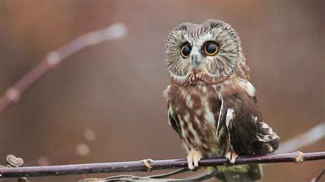 northern  whet owl  cute  vimeo