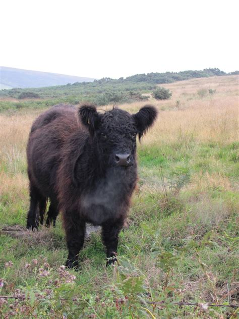 galloway cattle society