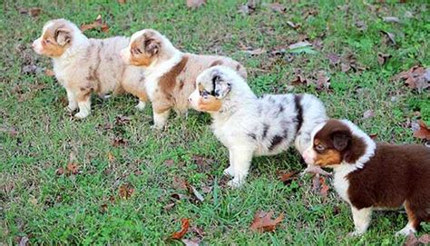 australian shepherd breed description history  overview