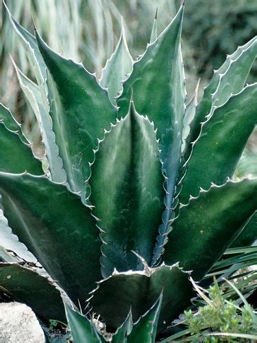 Green Agave Plant