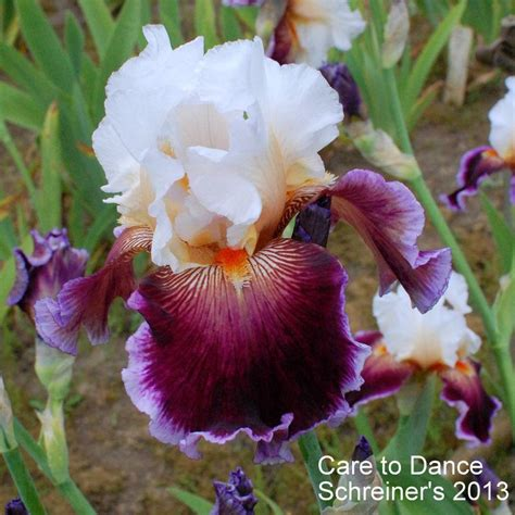 care of iris photo of the bloom of tall bearded iris iris care to dance posted by coboro garden org