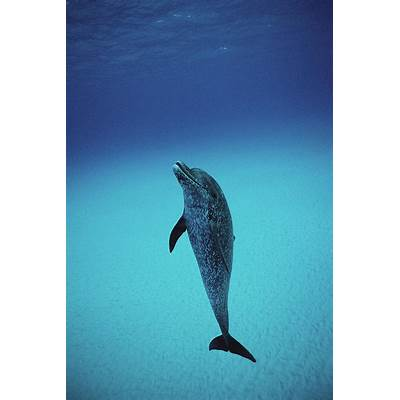 Atlantic Spotted Dolphin Portrait Photograph by Flip Nicklin