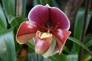Orchideen Oase Berlin : nur noch heute gro bl tige frauenschuhe bestellen ~ A.2002-acura-tl-radio.info Haus und Dekorationen